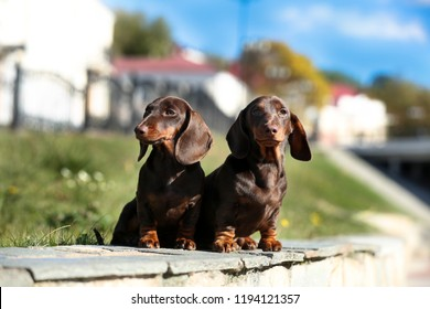 Tvo Dachshunds sit on the background of the urban landscape