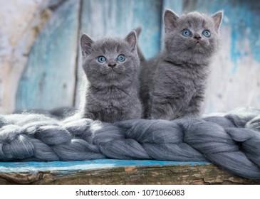 tvo kittens grey