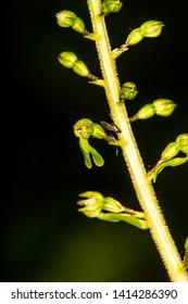 Twayblade,  orchid of the German flora