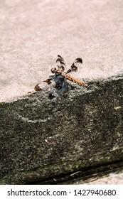 Twelve Spotted Skimmer Dragonfly Female