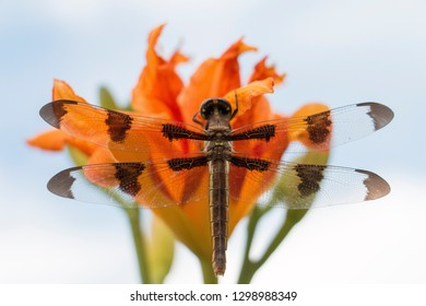 Twelve-spotted Skimmer dragonfly sitting on a lilly