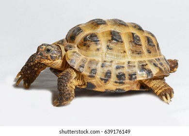 Twenty years old turtle Testudo horsfieldii on white background