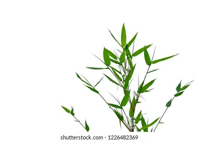 A twig of bamboo leaves on white isolated background for green foliage backdrop