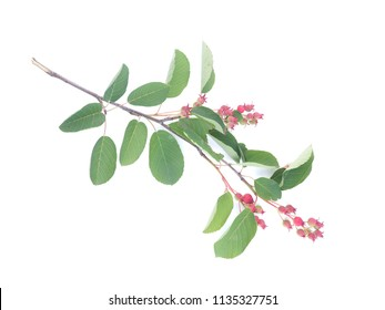 twig with berries irgi on a white background