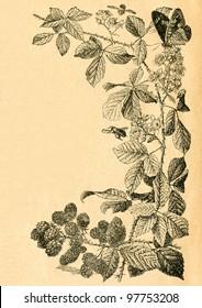 Twig of blackberry with flowers and fruits - old illustration by unknown artist from Botanika Szkolna na Klasy Nizsze, author Jozef Rostafinski, published by W.L. Anczyc, Krakow and Warsaw, 1911 - Shutterstock ID 97753208