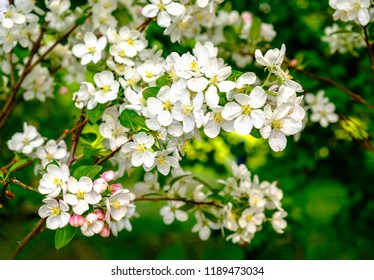 The twig of a blossoming cherry tree in a garden