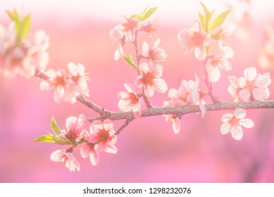 a twig of a blossoming fruit tree, spring time
