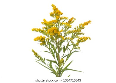 Twig of a blossoming goldenrod isolated on a white background.