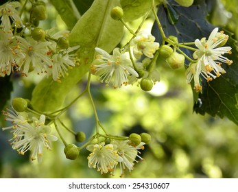 Twig Of Blossoming Lime Tree With Dewdrops