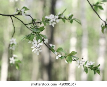The twig of a cherry tree in blossom on a blurry background with grey and white trunks.