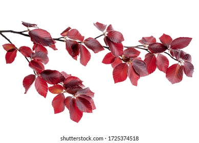 Twig of copper beech tree isolated on white background in springtime
