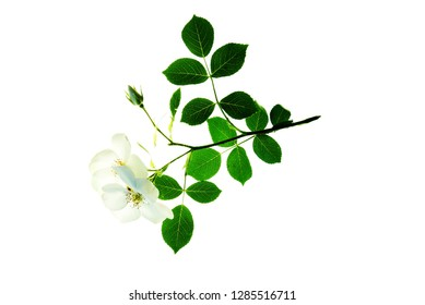 Twig of dog rose with two flowers isolated on white