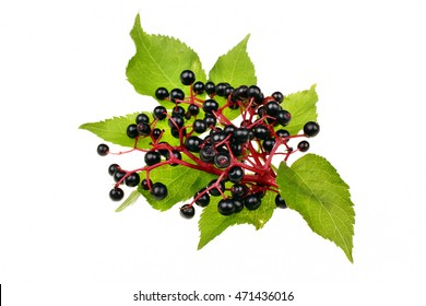 Twig with elderberries and a leaf lying on a white background