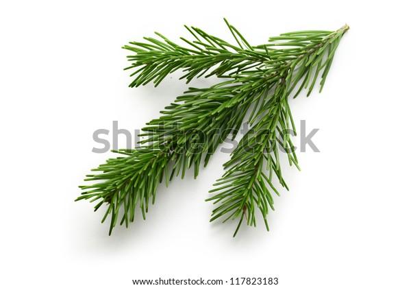 Twig aus immergrüner Tanne auf Weiß