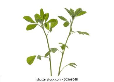 Twig of Fenugreek on white background
