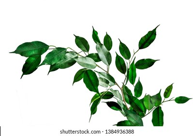 Twig of Ficus benjamina with green cuspidal leaves isolated on white background. Ficus - popular houseplant for indoor floriculture, phytodesign and landscaping premises. Decorative plant