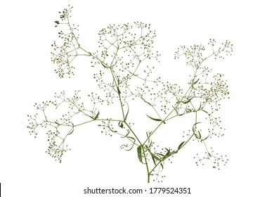 Twig with flowers of Gypsophila  (Baby's-breath flowers), isolated on white background
