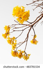 Twig with flowers Ipe, a typical flower midwestern Brazil region. A beautiful yellow flower hanging from the branches of a ipe tree. Photo during the spring.