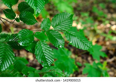 Twig of a forest hornbeam tree (Carpinus) with green wet leaves, blurred background