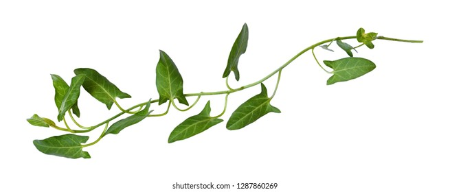 Twig of fresh bindweed with green leaves isolated on white