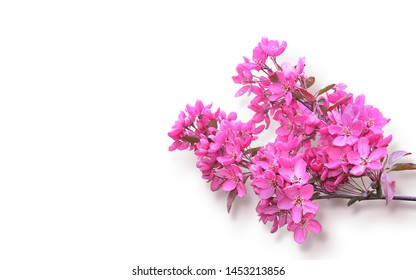 twig of fresh blooming cherry blossoms isolated on white background