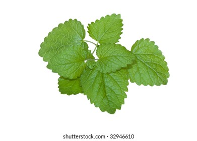 The twig of  fresh mint isolated on white background