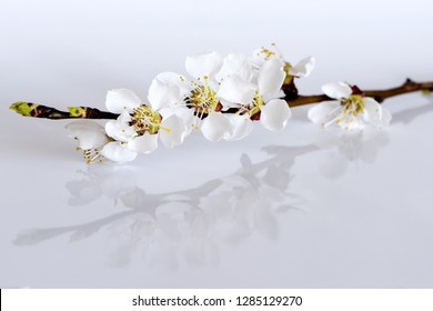 A twig of a fruit tree with blossoms and buds on a light gray background