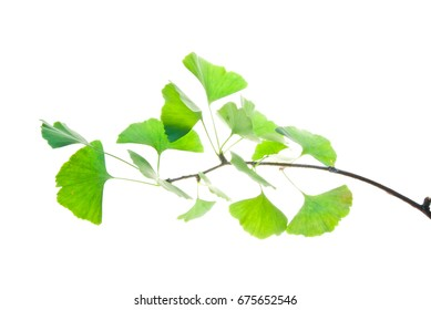 Twig of ginkgo biloba tree with green leaves isolated on white background