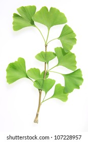 twig of a ginkgo tree (Ginkgo biloba) against a white background