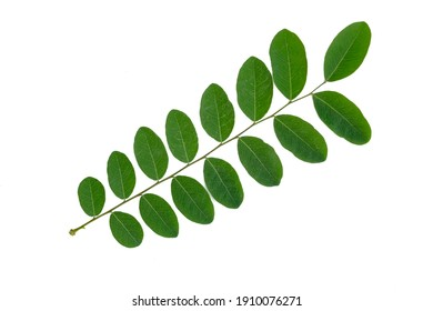 Twig with green leaf isolated on white background