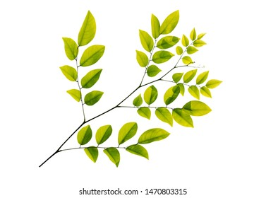 Twig with green leaves isolated on white background