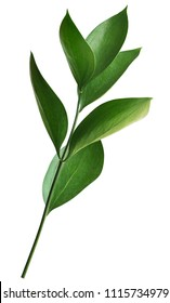 Twig with green leaves of ruscus isolated on white