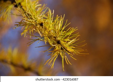 twig of larch