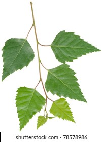 twig with leaf of birch tree