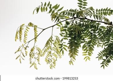 Twig and leaves of honey locust (Gleditsia triacanthos)