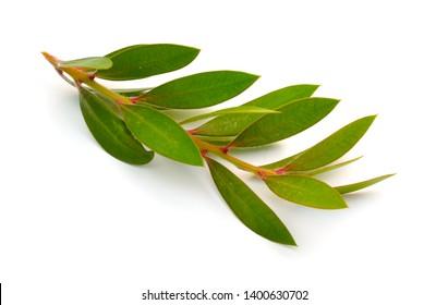 Twig of Melaleuca, paperbarks, honey-myrtles or tea-tree, bottlebrush. Isolated on white background