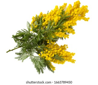 twig of mimosa flower isolated on white