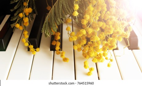 A twig of mimosa on the piano. Spring music. Black and white keys, toned