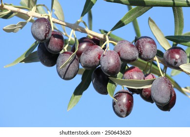 twig with olives