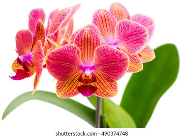 twig orchid phalaenopsis orange blossoms isolated on a white background