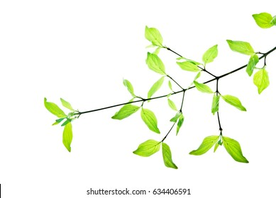 Twig with pointed green leaves isolated on white