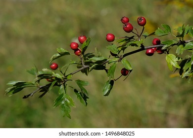 Twig with red fruits of Crataegus - commonly called hawthorn, thornapple, May-tree, whitethorn, or hawberry. It is edible and medicinal plant. Used to jams, jellies, juices, alcoholic beverages.