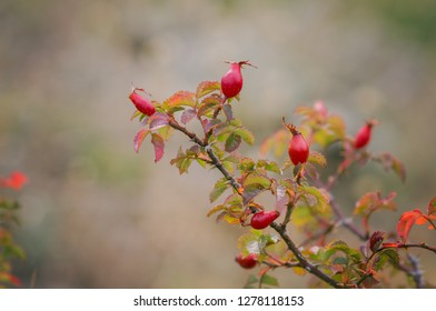 Twig with red rose hips on a dog-rose rosa canina rosehips on blurred nature background.