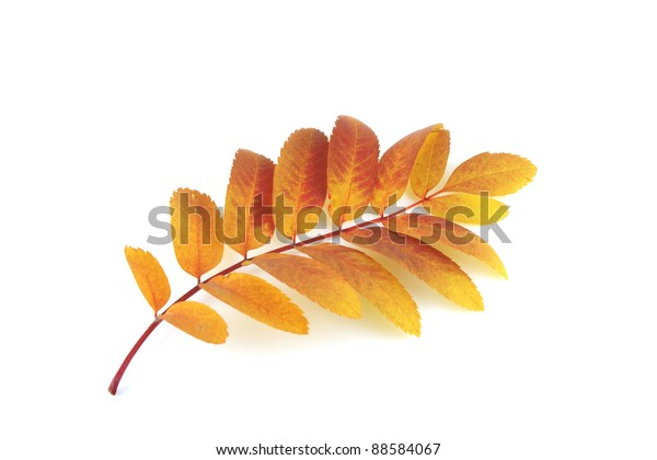 twig-rowantree-color-autumn-leaves-600w-