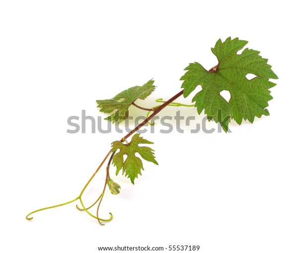 twig-vine-600w-55537189.jpg