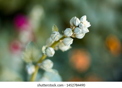 twig with white buds of unopened flowers on the background of green bokeh