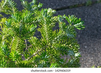 Twigs of Abies koreana (Korean fir) in spring. Beautiful soft silvery green colored needles.