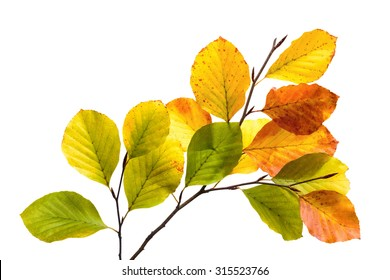Twigs with colorful leaves of a beech tree,  studio isolated on pure white
