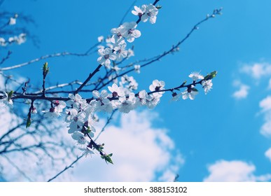 Twigs with the first apple-tree flowers against the background of the blue sky with clouds (shallow DOF, retro style)