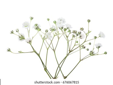 Twigs with flowers of Gypsophila isolated on white background